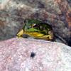 Poel_frog_1
